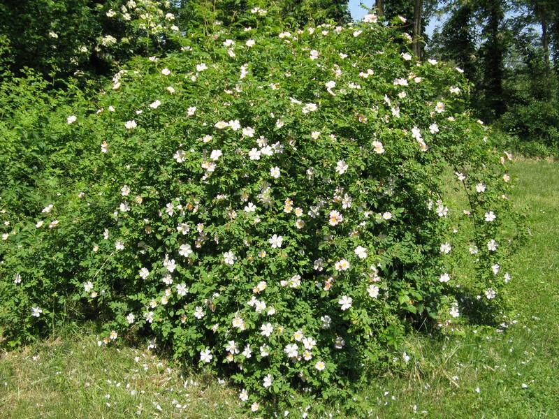 Rosa canina rosa selvatica for Pianta di more